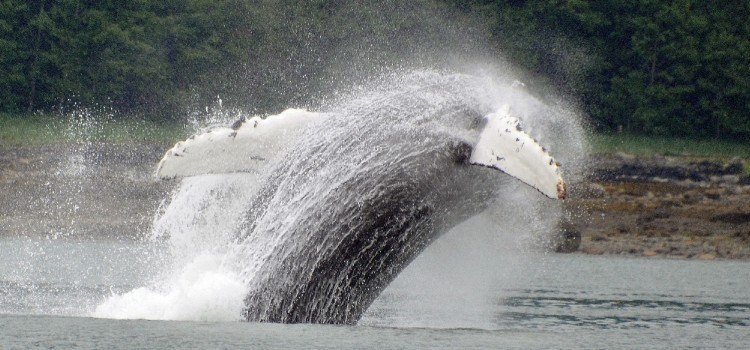 Juneau, a Humpback Whale's Summer Vacation Destination