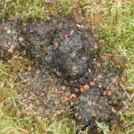 Black Bear Scat Juneau 8-14