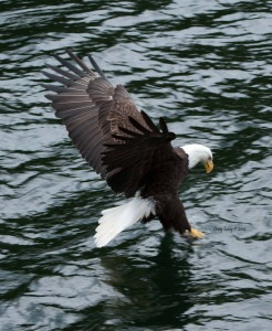 Eagle fishing low res