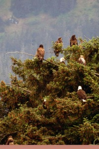 Eagles in a tree 6-13-14  Juneau cropped LR