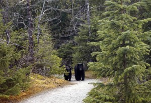 Bear Walking Toward Me Marine Ecology Trail May Cropped Low Res 092015_0175