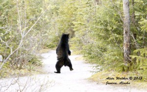Dancing Bear Nicky Cub Morine Ecology Trail Juneau Alaska 5-8-15 low res 2