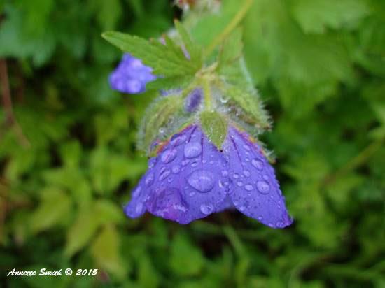 Annette Wild Generium Rain drops
