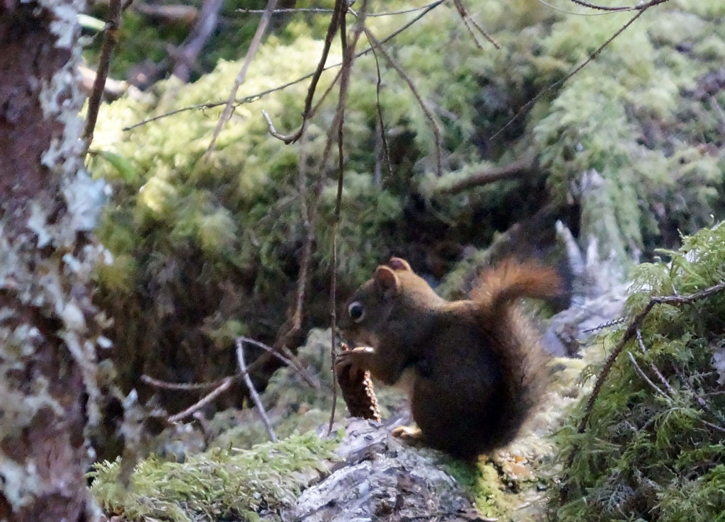 Red squirrel with pine cone 5-15  cropped