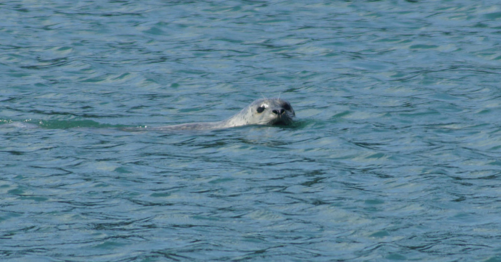 Stater Harbor Seal 5-28-15 cropped