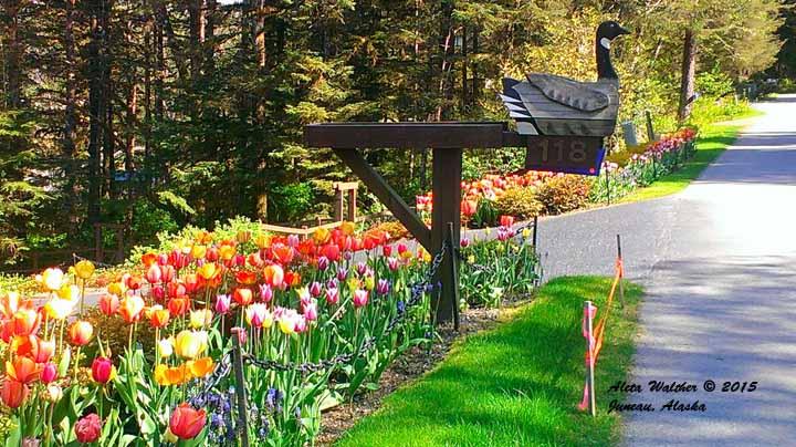 Tulips and goose 6=15 Douglas Island - Gingert