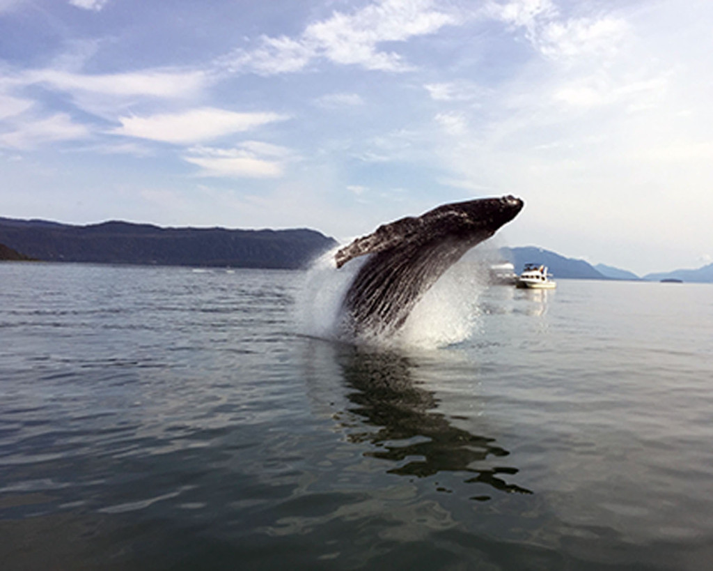 Breaching Whale (2) 7-4-15 resized 7x5