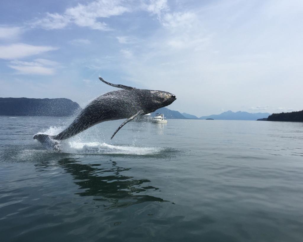 Breaching Whale 7-4-2015