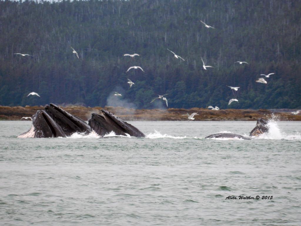 Humbacks bubblenet feeding 7-16-14