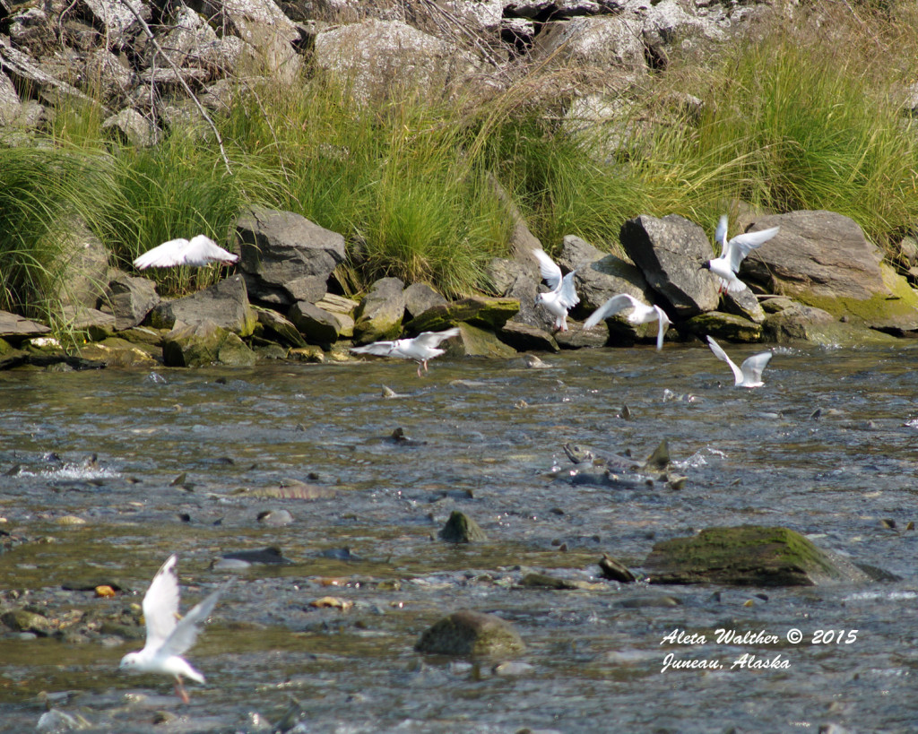 Salmon on top of water with birds - Salmon Creek