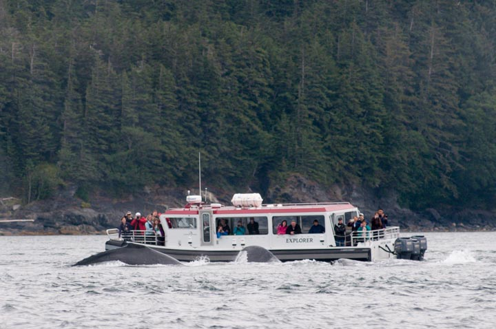 Bubblenet Humpbacks Close to boat (2) North Pass-Juneau Aug 2013